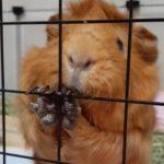 【幸せにする方法】モルモットを飼う心構え【愛情】動物を幸せにしたい!
